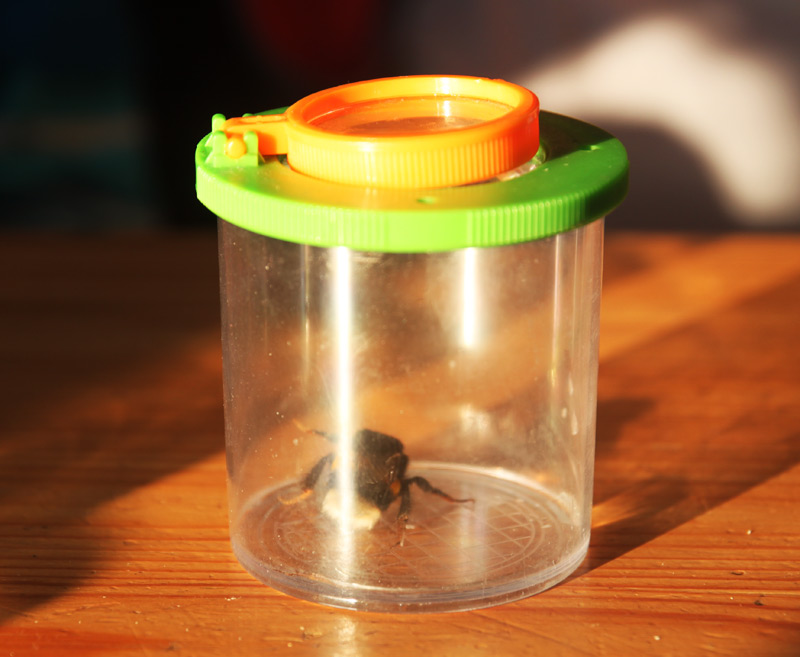 Homeschooling - Biologie und Hummelrettung